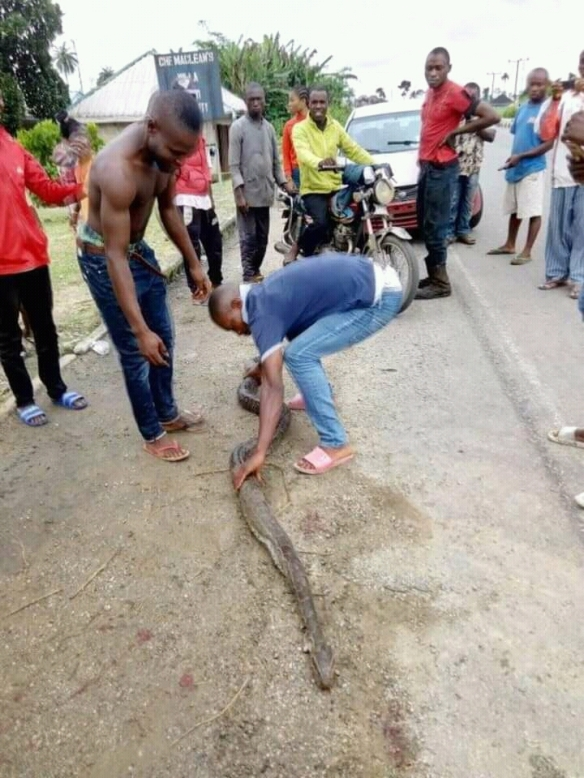 Aquatic dangerous Python killed in Ishiayi community -Photos
