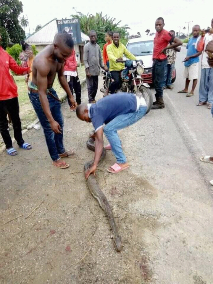 Aquatic dangerous Python killed in Ishiayi community -Photos